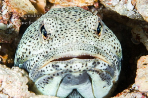 Amazing jawfish, La Paz Mexico by Alejandro Topete 